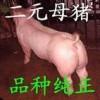 山东三元仔猪供应中心