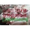 供应仔猪苗猪13864964308