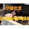 山东仔猪价格15266665888