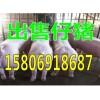 仔猪养殖基地出售仔猪15806918687