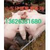 山东养猪场仔猪价格山东仔猪市场价格辽宁仔猪价格