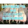 山东三元猪批发13181234557